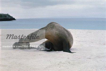 Galapagos Sea Lion with Pup Galapagos Islands, Ecuador