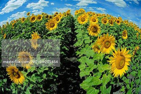 Sunflower Field Beausejour, Manitoba, Canada