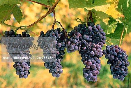 Pinot Noir Grapes Okanagan Valley, Penticton British Columbia, Canada