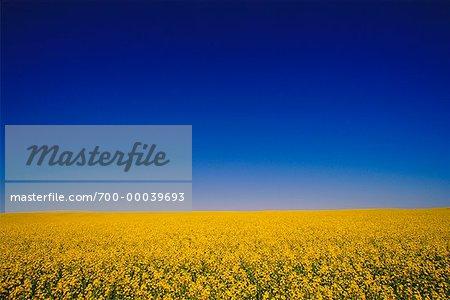 Canola Field and Sky Alberta, Canada