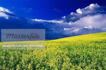 Canola Field and Clouds Three Hills, Alberta, Canada
