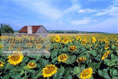 Sunflower Field Beeton, Ontario, Canada