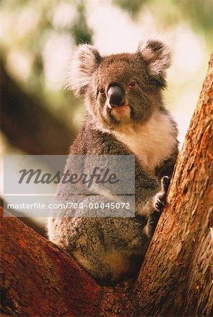Portrait Of Koala In Tree Cleland Wildlife Park South Australia