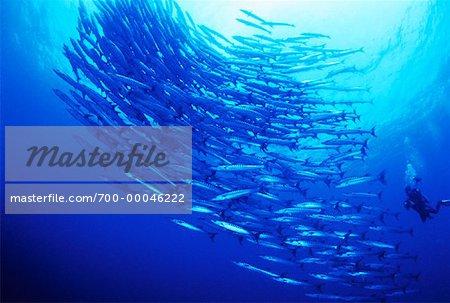 Underwater View of Diver and School of Barracuda Sipidan Island, Sabah, Malaysia