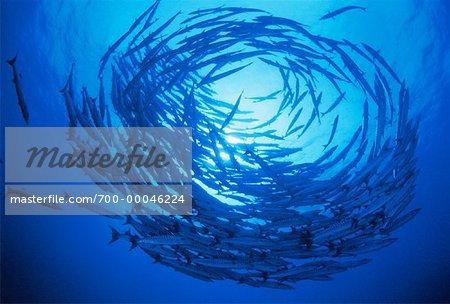 Underwater View of School of Barracuda Sipidan Island, Sabah, Malaysia