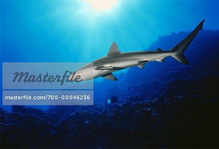 Underwater View of Silky Shark Isla San Benedicto Socorro Islands, Mexico