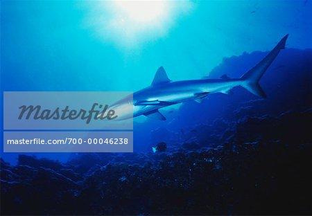 Underwater View of Silky Shark Islas San Benedicto Socorro Islands, Mexico