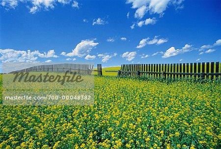 Canola Field and Fence Dalmas, Saskatchewan, Canada
