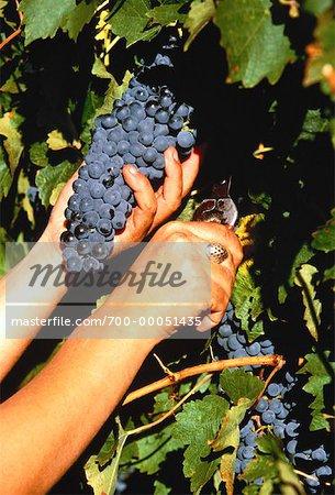 Hands Picking Shiraz Grapes Redgate Winery, Australia