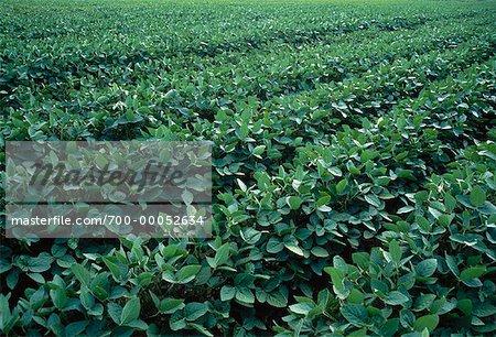Soybean Crop Ontario, Canada