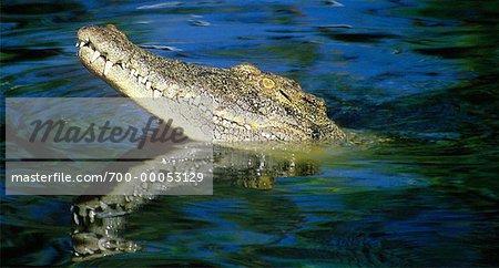 Salt Water Crocodile Emerging From Water Queensland, Australia