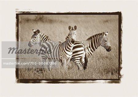 Zebras in Field Maasai Mara Game Reserve Kenya, Africa