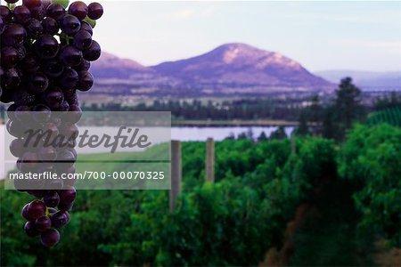 Grape Vine and Vineyard Okanagan Valley British Columbia, Canada