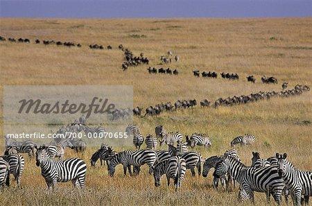 Zebra and Wildebeest Migrating Maasai Mara Game Reserve Kenya, Africa