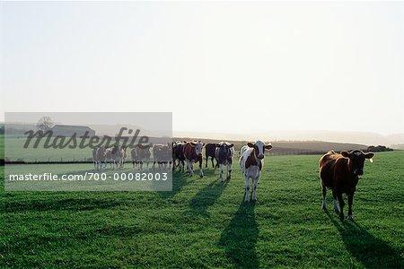 Herd of Cows Walking in Field, Scotland
