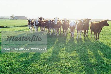 Herd of Cows in Field, Scotland