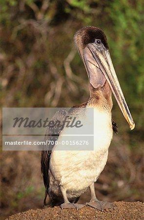 Pelican Galapagos Islands, Pacific Ocean Ecuador