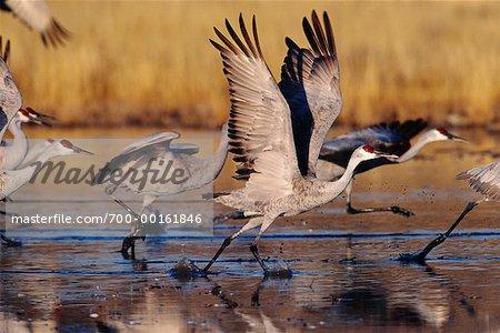 Sandhill Cranes Taking Off