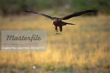 Yellow Billed Kite
