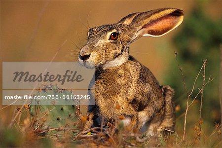 Jack Rabbit Usa >> Jackrabbit Rio Grande Valley Texas Usa Stock Photo Masterfile