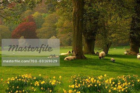 Sheep Grazing Scotland