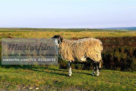 Sheep, Yorkshire Moors Yorkshire, England