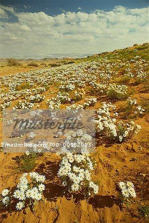 Desert in Bloom Namaqualand, Africa
