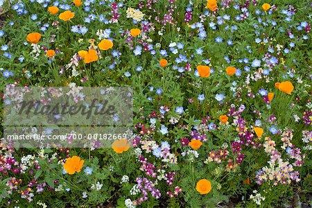 Wild Flowers in Garden Shamper's Bluff New Brunswick, Canada
