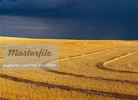Swathed Wheat Field Saskatchewan, Canada