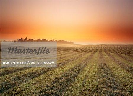 Swathed Field at Dawn Alberta, Canada