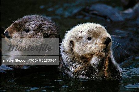 Portrait of Sea Otters
