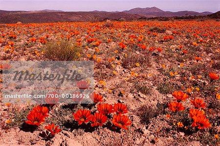 Desert Flowers in Field South Africa Africa