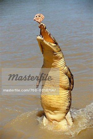 Crocodile Feeding Northern Territory, Australia