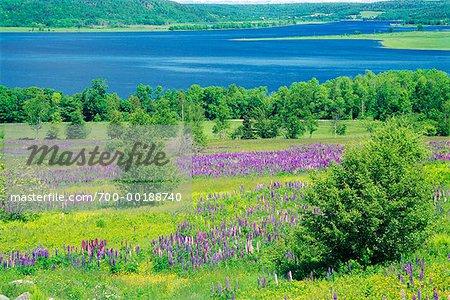 Lupins in Field by Bay Shampers Bluff Belleisle Bay New Brunswick, Canada
