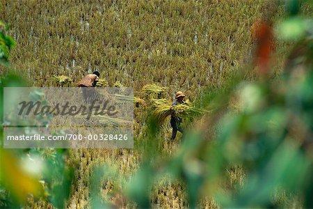 Men Working in Rice Field Madagascar