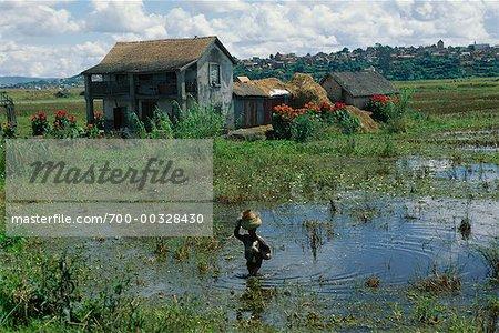 Rice Paddy Farm House and Rice Fields Madagascar
