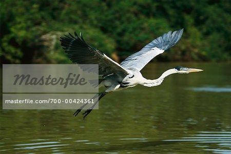 Cocoi Heron, Pantanal, Brazil