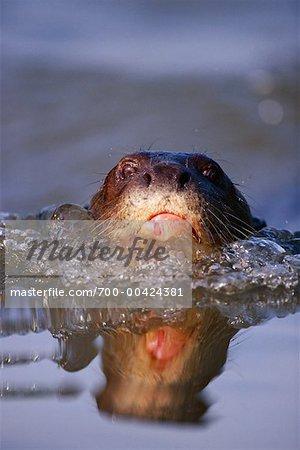 Giant River Otter, Pantanal, Brazil