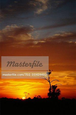 Jabiru Stork Nest at Sunrise, Pantanal, Transpantaneira, Brazil