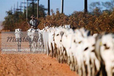 Cowboy on Cattle Drive, Mato Grosso, Pantanal, Brazil