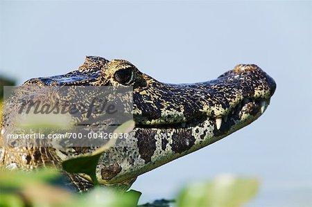 Cayman, Mato Grosso, Pantanal, Brazil