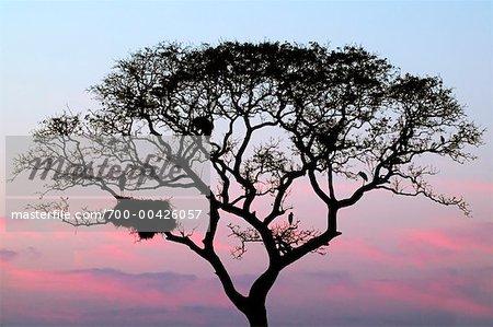 Silhouette of Jabiru Stork Nest in Tree