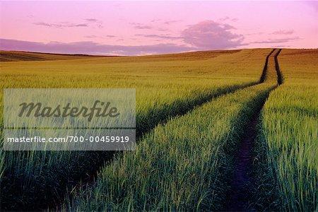 Barley Field at Sunset, Olds, Alberta, Canada