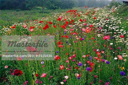 Wildflowers in Meadow, Shamper's Bluff, New Brunswick, Canada