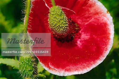 Close up of poppy flower and seed pod stock photo masterfile close up of poppy flower and seed pod stock photo mightylinksfo