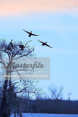 Silhouette of Cormorants, Atchafalaya Basin, Louisiana, USA