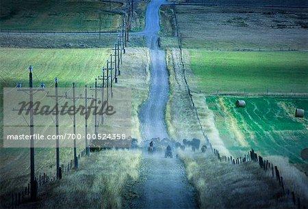 Cattle Drive, Near Pincher Creek, Alberta, Canada