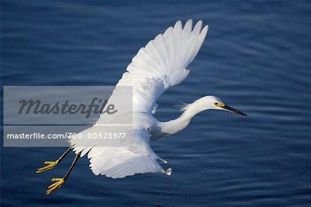 Snowy Egret in flight, Ding Darling Wildlife Refuge, Sanibel Island, Florida, USA