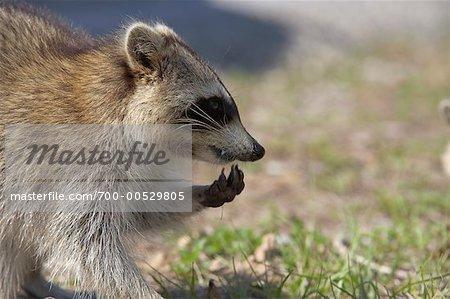 Raccoon, Ding Darling National Wildlife Refuge, Sanibel Island, Florida, USA