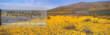 Yellow Poppies, Arizona, USA